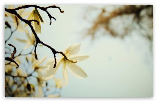 Download White Magnolia UltraHD Wallpaper