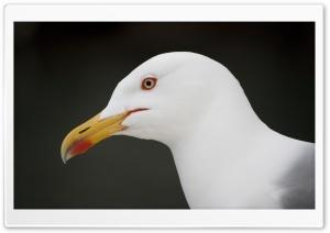 Camogli Seagull