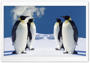 King Penguins Having A Meeting