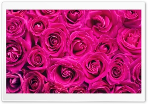 Beautiful Roses Flowers...