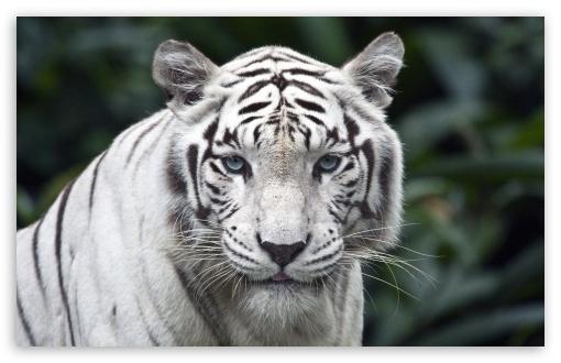 Download White Tiger UltraHD Wallpaper