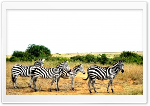 Zebras Lined Up