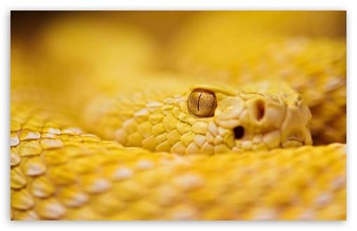 Download Albino Rattlesnake UltraHD Wallpaper