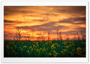 Sunset Sky Over Canola Field
