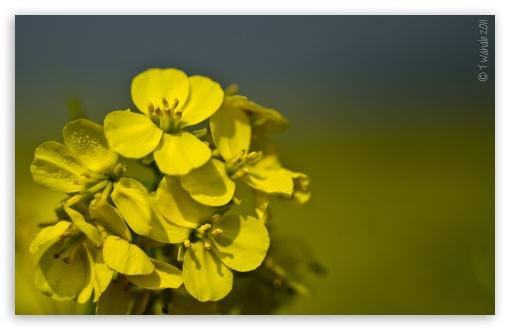 Download Yellow Mustard Flowers UltraHD Wallpaper
