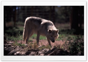 Wolf by Dave Johnson