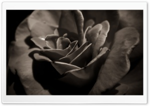 Black Rose Macro