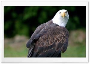 Eagle Looking