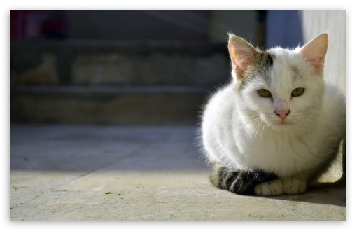 Download Persian Cat UltraHD Wallpaper