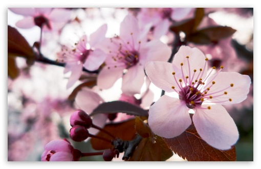 Download Delicate Cherry Blossom UltraHD Wallpaper