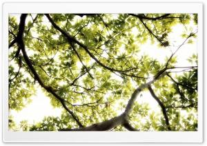 Sunlight Thru Large Tree