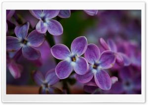 Lilac Blossoms Closeup