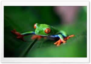 Red-eyed tree frog Macro