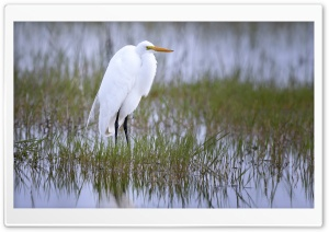 Great Egret Bird