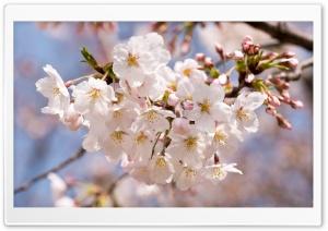A Sakura
