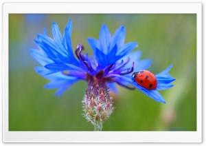 Ladybug On A Blue Cornflower...