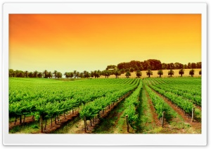 Rows Of Young Grape Vines