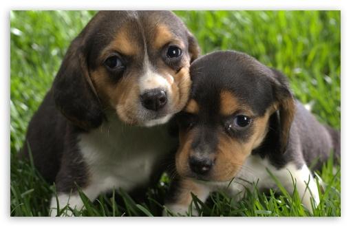 Download Beagle Puppies UltraHD Wallpaper