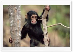 Young Chimpanzee Climbing...