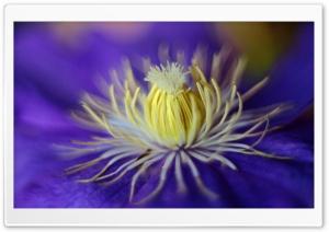 Blue Clematis Flower Macro