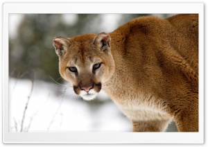 Cougar In Winter Montana
