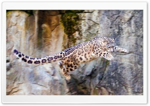 Snow Leopard Flying