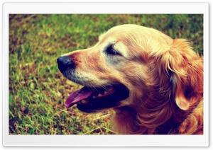 Goldie the Retriever