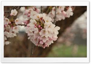 Cherry Flowers Bundle