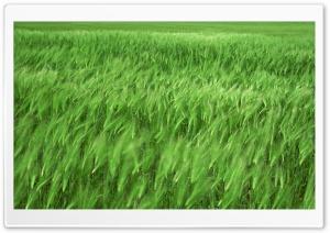Green Wheat Field 1