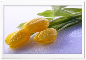 Dew On Yellow Tulips