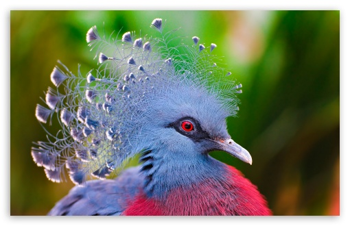Download Victoria Crowned Pigeon UltraHD Wallpaper