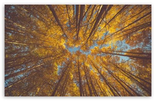 Download Yellow Autumn Aspen Forest Canopy UltraHD Wallpaper