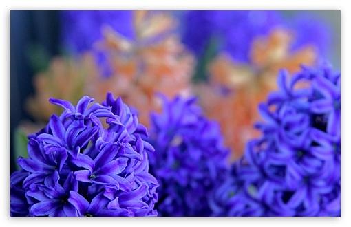 Download Hyacinths UltraHD Wallpaper