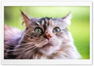 Ziva Maine Coon Cat,...