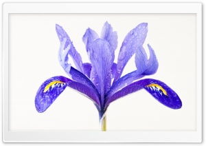 Water Drops on a Purple Iris...
