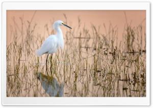 Snowy Egret Water Bird