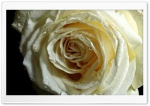Rose on Black Velvet