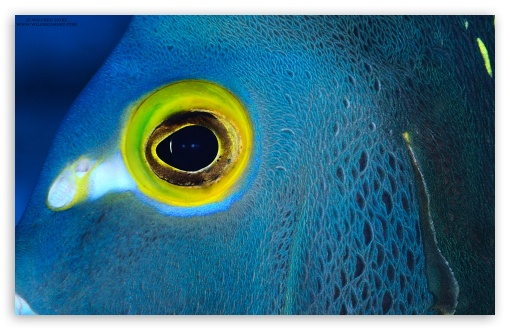 Download Blue Fish with Yellow Eyes UltraHD Wallpaper