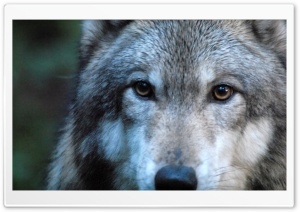 Gray Wolf by Dave Johnson