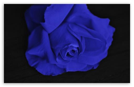 Download Single Blue Rose UltraHD Wallpaper