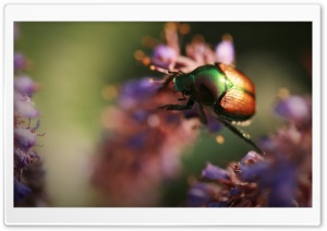 Colorful Beetle Insect
