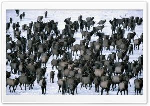 Winter Elk Herd Grand Teton...