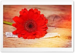 Vivid Red Gerbera Daisy