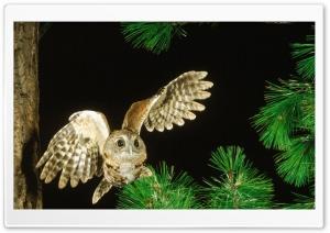Owl In The Fir Tree