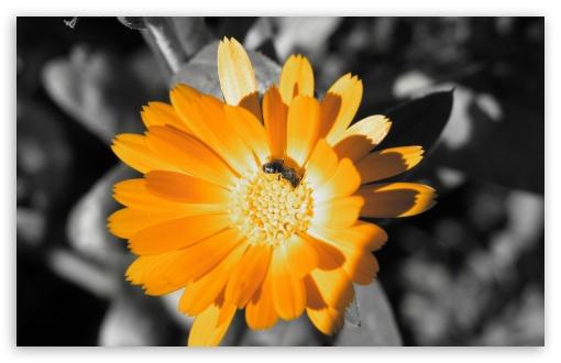 Download Orange Flower 1 UltraHD Wallpaper