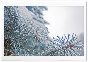 Frozen Fir Tree Needles