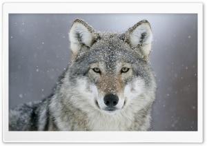Predator Wolf Snow