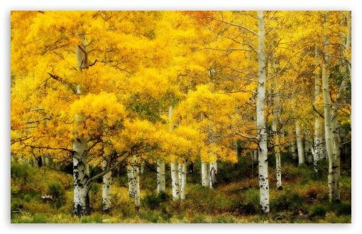 Download Yellow Birch, Autumn UltraHD Wallpaper