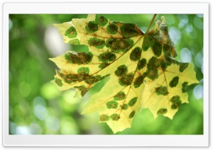 Spotted Leaf