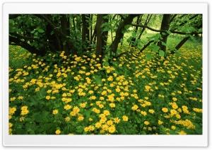 Leopardsbane Flowers Scotland